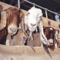 A Family Goat Farm